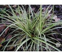 turzyca Morrowa Variegata Carex morrowii Variegata