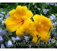 liliowiec Stella d'Oro Hemerocallis x hybrida Stella d'Oro