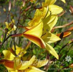 liliowiec Corky Hemerocallis x hybrida Corky