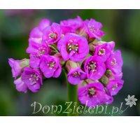 bergenia sercolistna Bergenia cordifolia