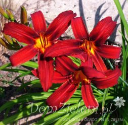 liliowiec Crimson Pirate Hemerocallis x hybrida Crimson Pirate