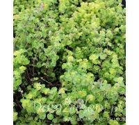 lebiodka pospolita Aureum Origanum vulgare Aureum