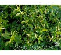 tymianek pospolity (macierzanka tymianek) Thymus vulgaris