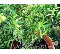 rozmaryn lekarski Rosmarinus officinalis