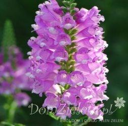 odętka wirginijska Pink Bouquet Physostegia virginiana Pink Bouquet