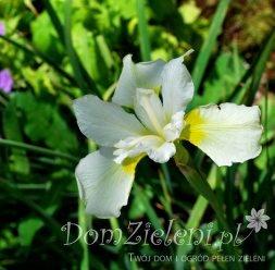 kosaciec syberyjski Alba Iris sibirica Alba