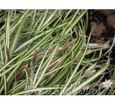 turzyca oszimska Evergold Carex oshimensis Evergold