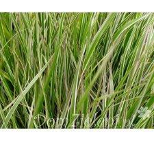 trzcinnik ostrokwiatowy (trzcinniczek) Overdam Calamagrostis x acutiflora Overdam