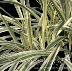 manna mielec Variegata Glyceria maxima Variegata