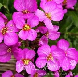 żagwin ogrodowy Rosenteppich Aubrieta deltoidea Rosenteppich