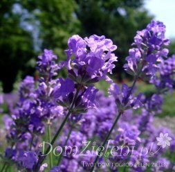 lawenda wąskolistna Munstead Lavandula angustifolia Munstead