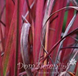 imperata cylindryczna Red Baron Imperata cylindrica Red Baron