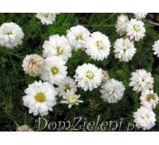 rumian szlachetny (r. rzymski) Plena Anthemis nobilis Plena