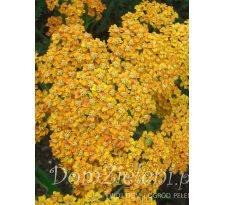 krwawnik pospolity Terracotta Achillea millefolium Terracotta