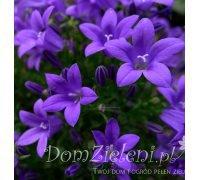 dzwonek dalmatyński Campanula portenschlagiana