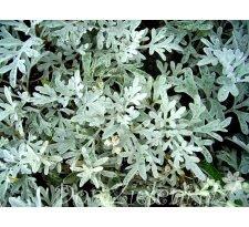 bylica Stellera Artemisia stelleriana