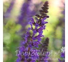szałwia omszona Mainacht Salvia nemorosa Mainacht