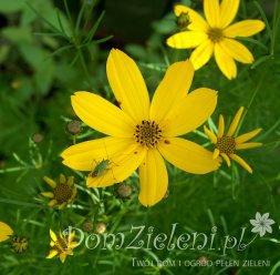 nachyłek okółkowy Grandiflora Coreopsis verticillata Grandiflora