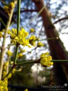 Wczesnowiosenne cięcia krzewów i pnączy już czas zacząć