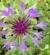 Centaurea montana Chaber górski