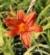 Hemerocallis fulva Europa liliowiec rdzawy Europa