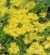 rozchodnik kamczacki Sedum kamtschaticum
