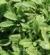 Salvia officinalis Icterina szałwia lekarska Icterina