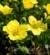 Waldsteinia geoides Pragnia kuklikowata